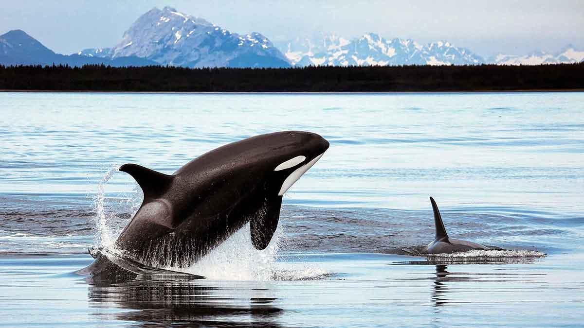 Jumping killer whale in Alaska.